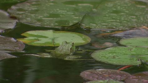 Frosch im ORF Fernsehgartenteich