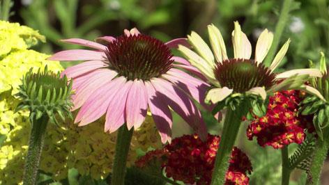 Blumenstauden