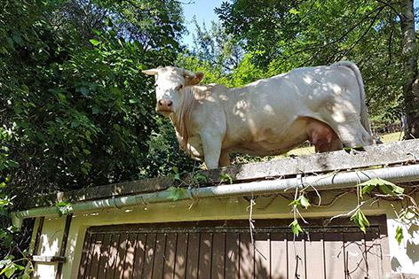 Kuh auf Garagendach