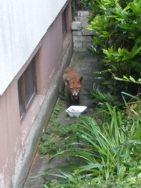 Fuchs in Garten
