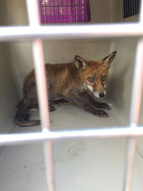 Fuchs in Käfig