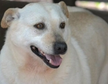 Dicker weißer Labrador Hund