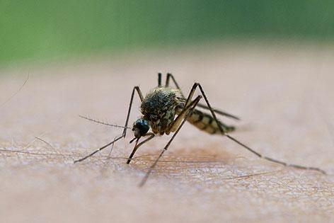 Mücke sitzt auf der Haut