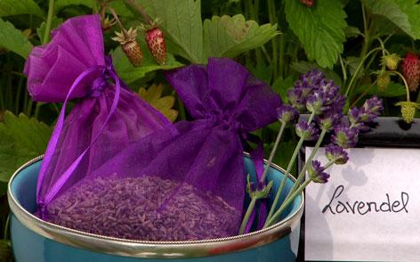 Lavendel im Fernsehgarten