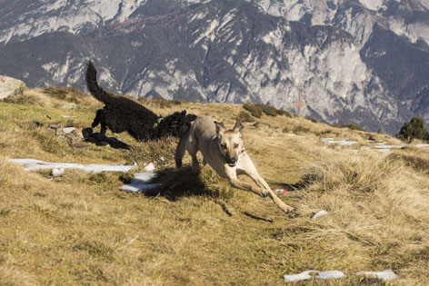 Zwei Hunde jagen sich spielerisch am Gipfelkreuz