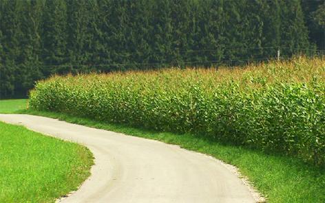Mais Monokultur Landwirtschaft Industrial Farming