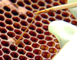 Bienen, Varroa, Faulbrut