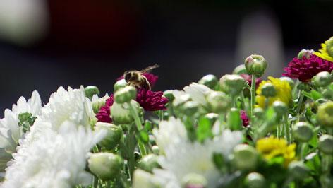 Crysanthemen mit Biene