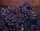 Schwarze Pflanze