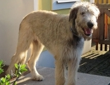 Irish Wolfhound Hektor