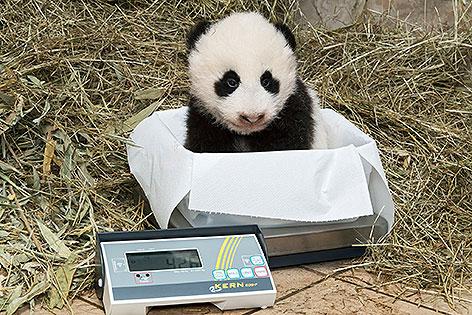 Pandanachwuchs im Tiergarten Schönbrunn auf Waage