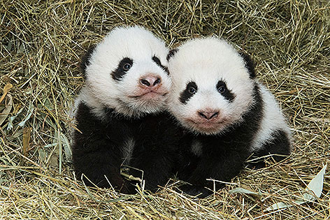 Panda Jungtiere im Tiergarten Schönbrunn
