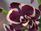 Orchidee zweifärbig