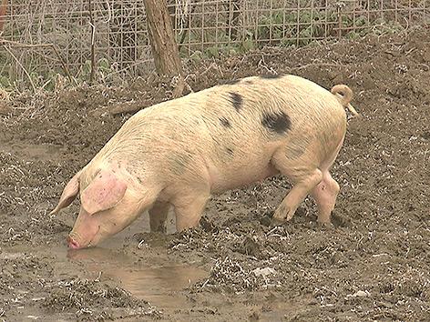 Rotter Seltenheit Schweinerasse Bentheimer