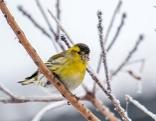 Erlenzeisig im Winter