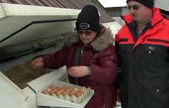Bauersleute heben Eier aus dem Stroh