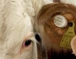 Intelligente Ohrenmarken für Rinder