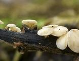 Der Eschenpilz Chalara Fraxinea - weißes Stengelbecherchen -, der Auslöser des Eschentriebsterbens