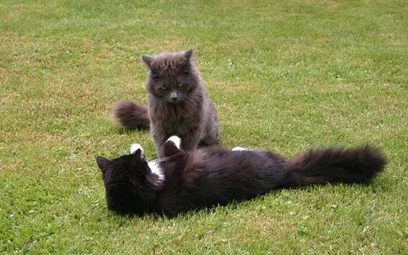 Zwei Katzen in einer grünen Wiese