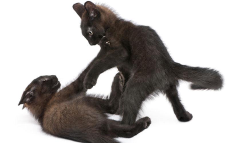 Zwei junge schwarze Katzen raufen