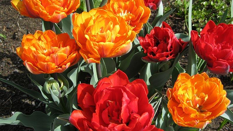 Tulpen Frühling Blume