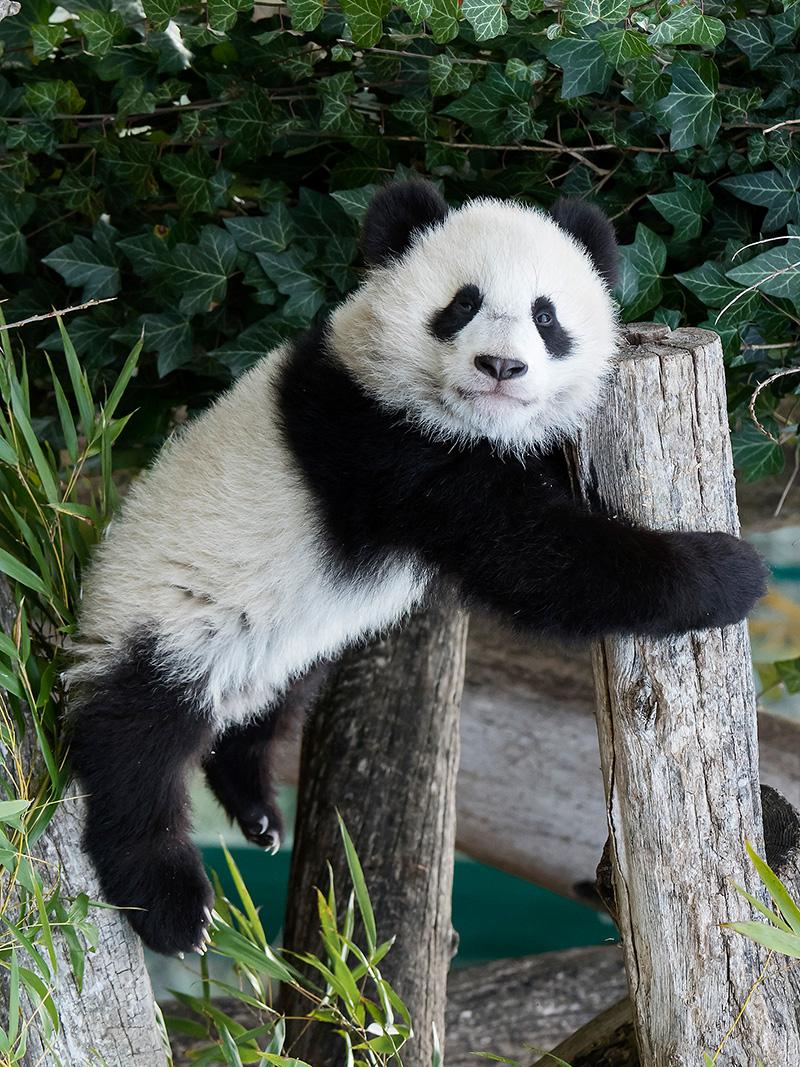 PandaZwillinge