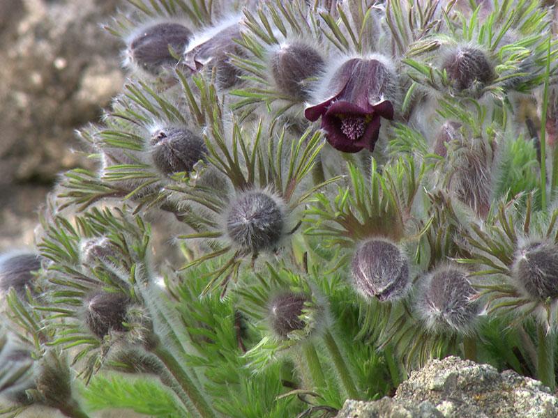 Botanischer Garten Frühlingsbeginn Küchenschelle