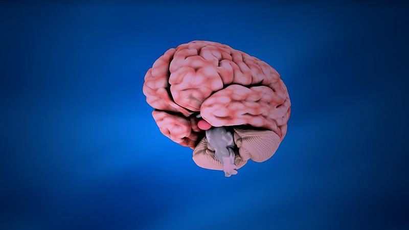Gehirn Hirn