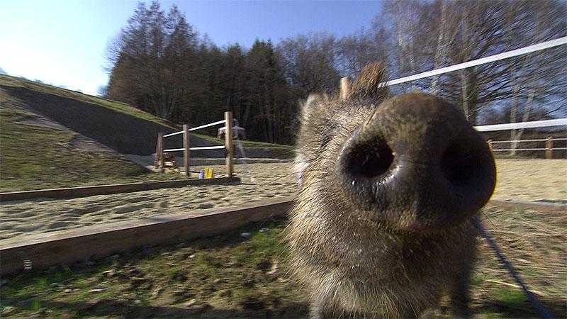 Wildschwein Willi