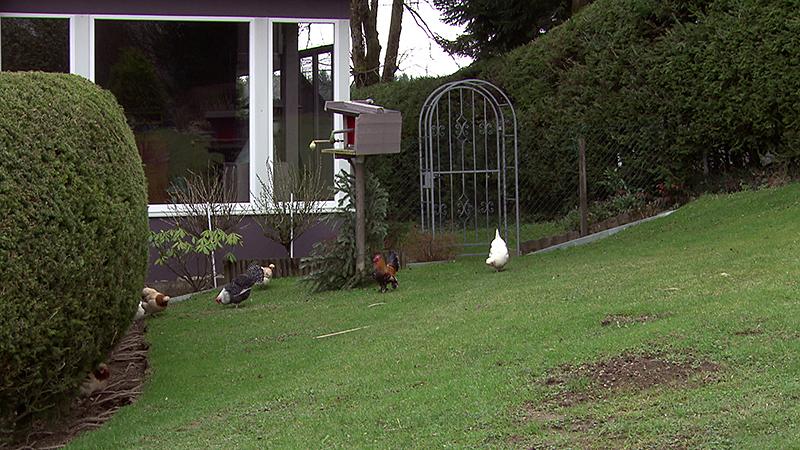 Hühner wieder im Freien