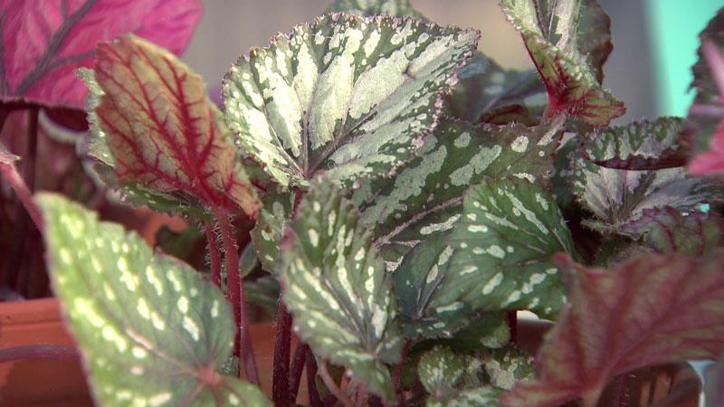 Grün-silberne Blattbegonie