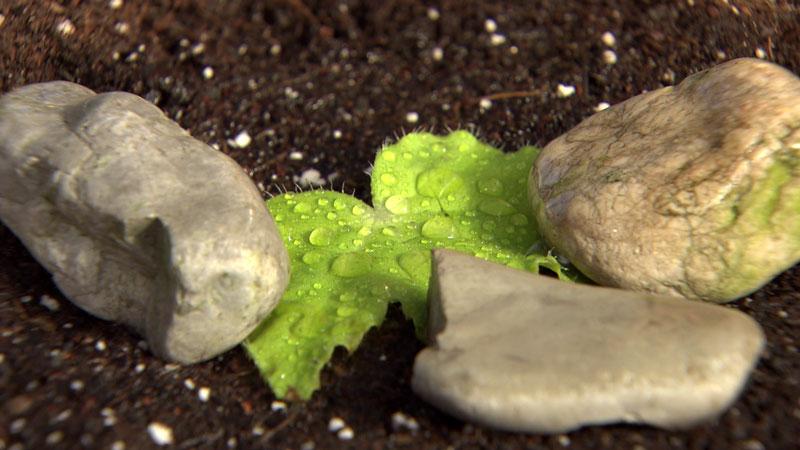 Begonienblatt mit Steinen