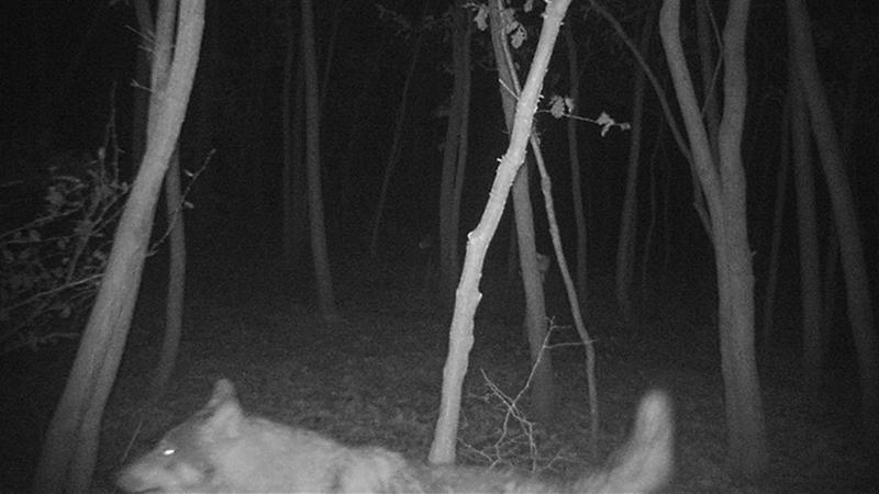 Wolf Sichtung Eisenstadt