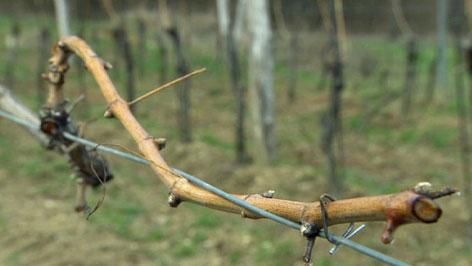 Trs, vinograd