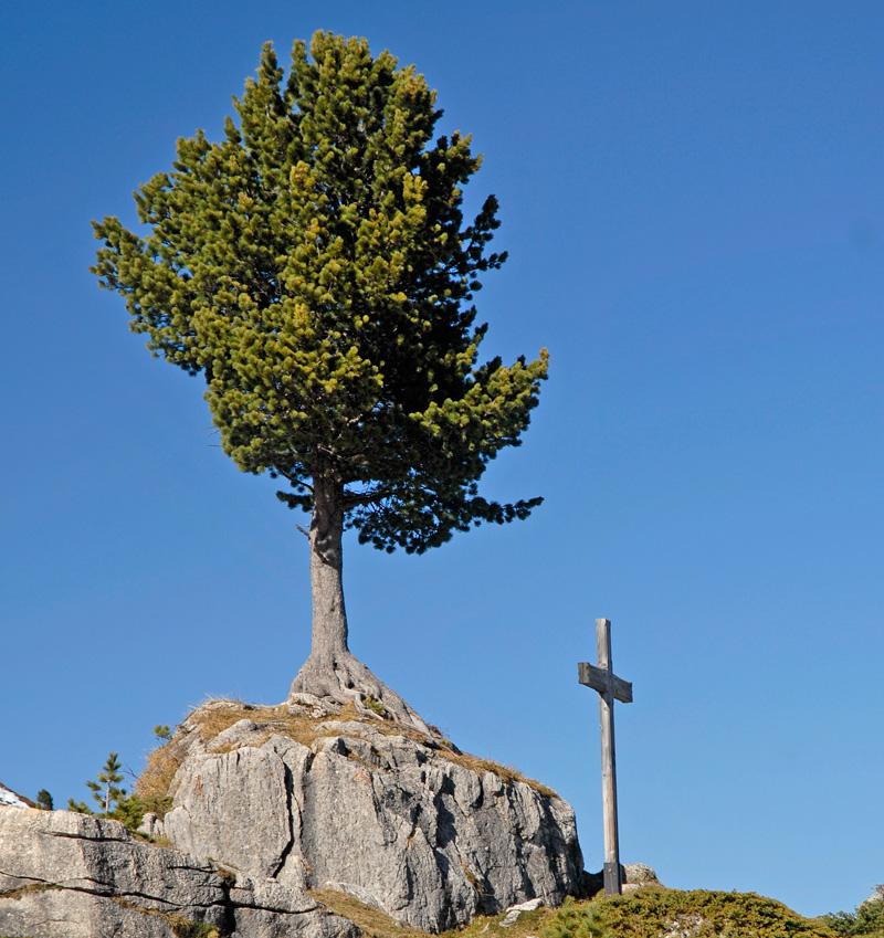 Zirbenbaum wächst auf Felsblock
