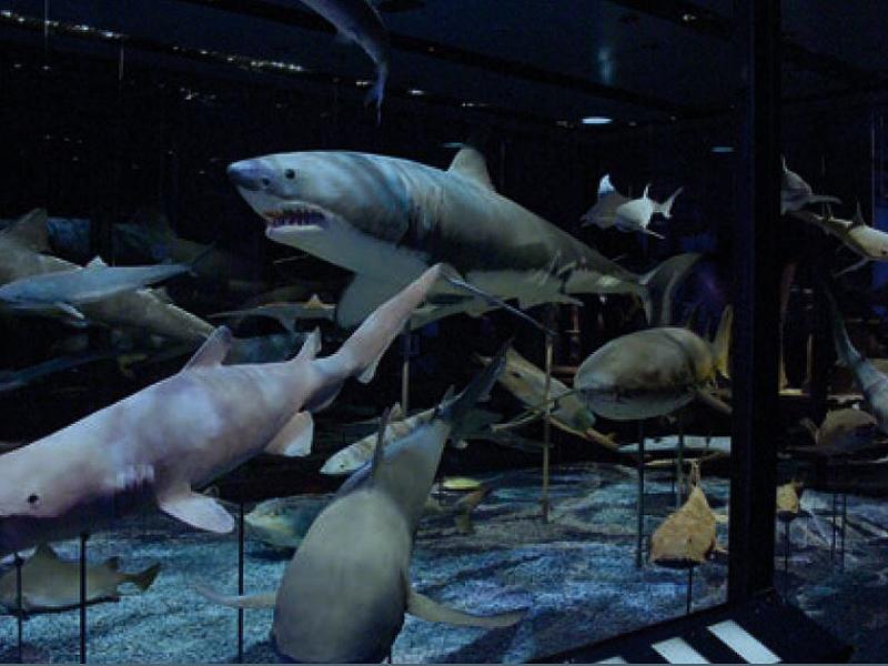 In Europas größter Hai- und Rochenvitrine im NHM