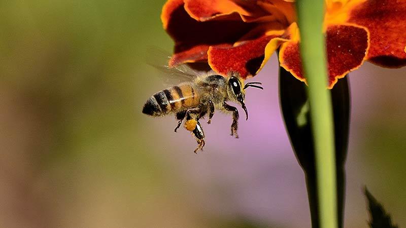 Biene Blüte Nektar sammeln