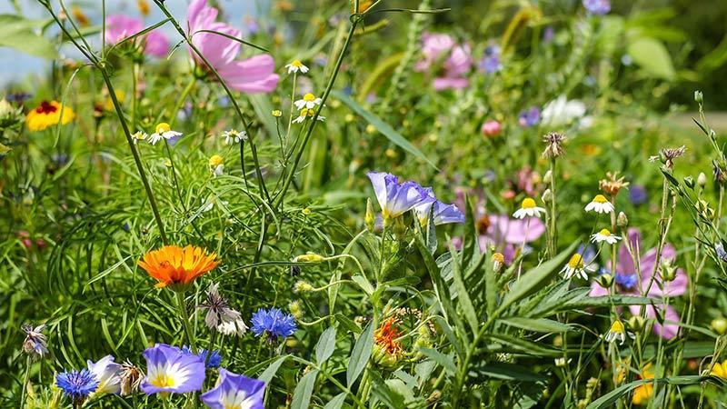 Schmetterlingswiese Blüten Blumenwiese