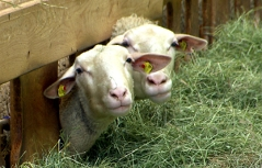 Schafe Stall Heu