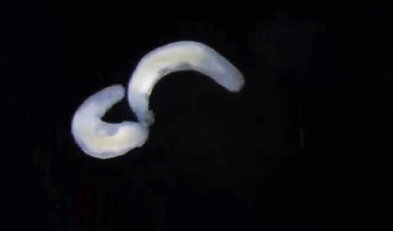Plattwürmer