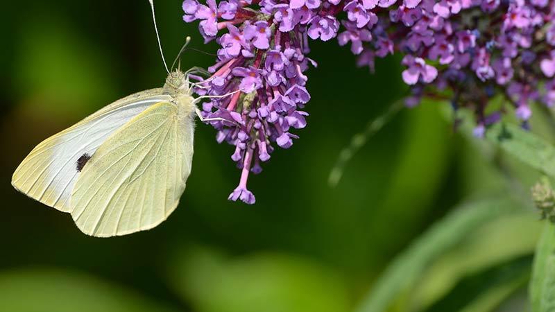 Großer Kohlweißling Schmetterlingsflieder