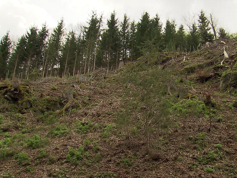 Borkenkäfer Bäume Befall