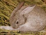 Braunes Kaninchen putzt sich