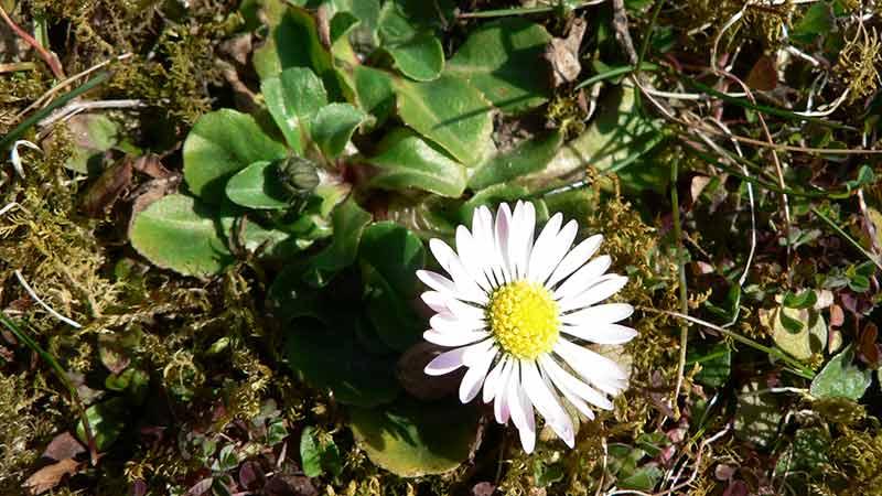 Petrasilie Kräuter Schönheit Gänseblümchen
