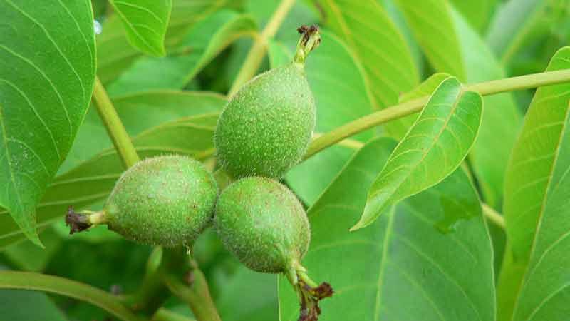 Petrasilie Kräuter Schönheit Grüne Nüsse