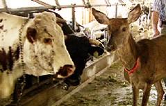 Hirschkuh lebt auf Bauernhof mit Rindern Kühen