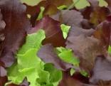 Junge Salatpflanzen, auch Baby Leafs genannt