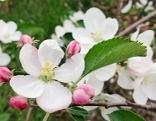 Apfelbaum, Blüte