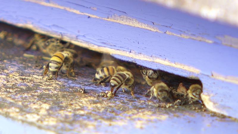 Bienen Bienestöcke Buckfast Carnica