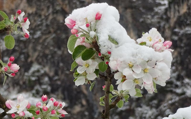 Apfelblüten im Schnee